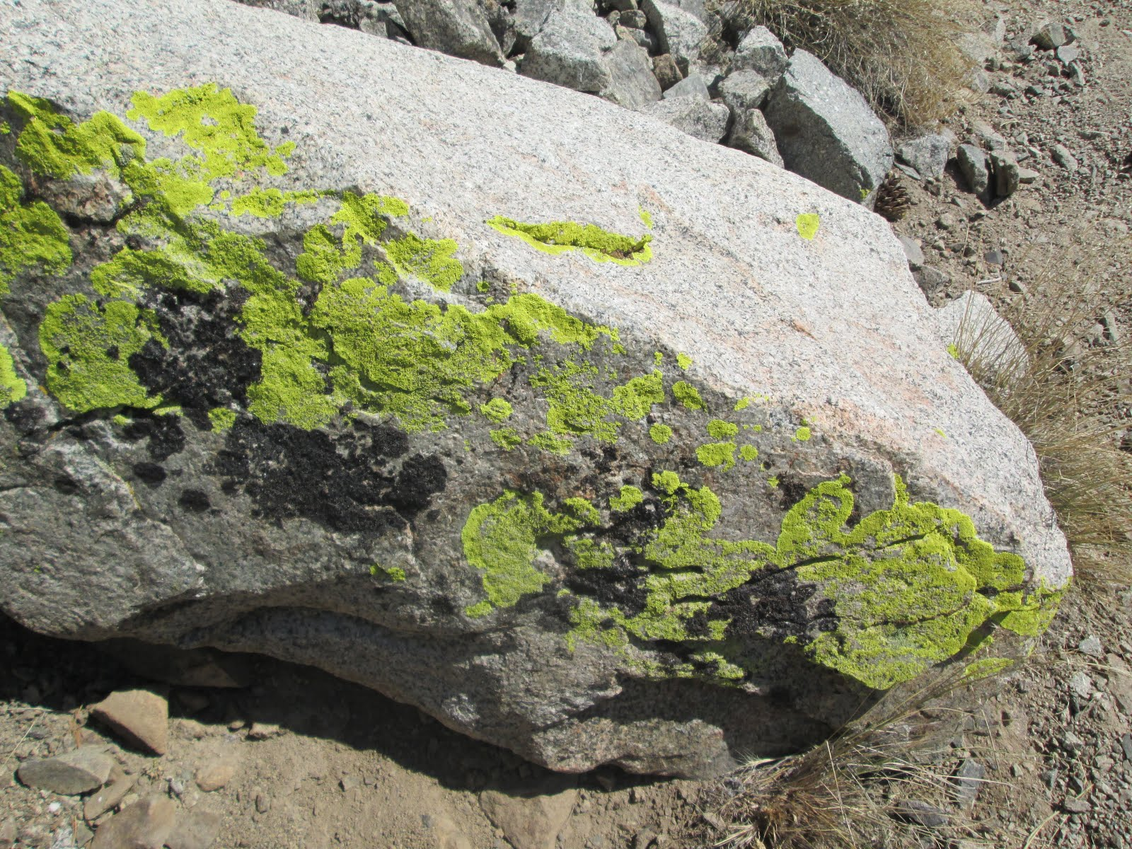 Chartreuse Lichen on the John Muir Trail