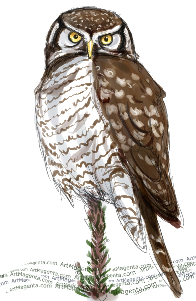 Northern Hawk Owl sketch painting. Bird art drawing by illustrator Artmagenta