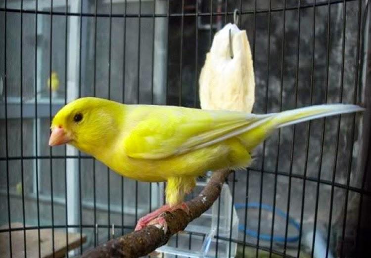 Foto Burung Kenari Taiwan Jantan