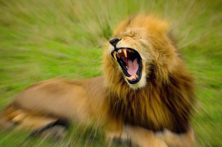 Morgan's Milieu | Do you sit on your bum all day?: Roaring Lion sitting on grass - cue rant.