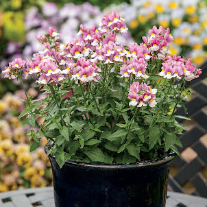 Nemesia - Seventh Heaven Lavender Bicolour