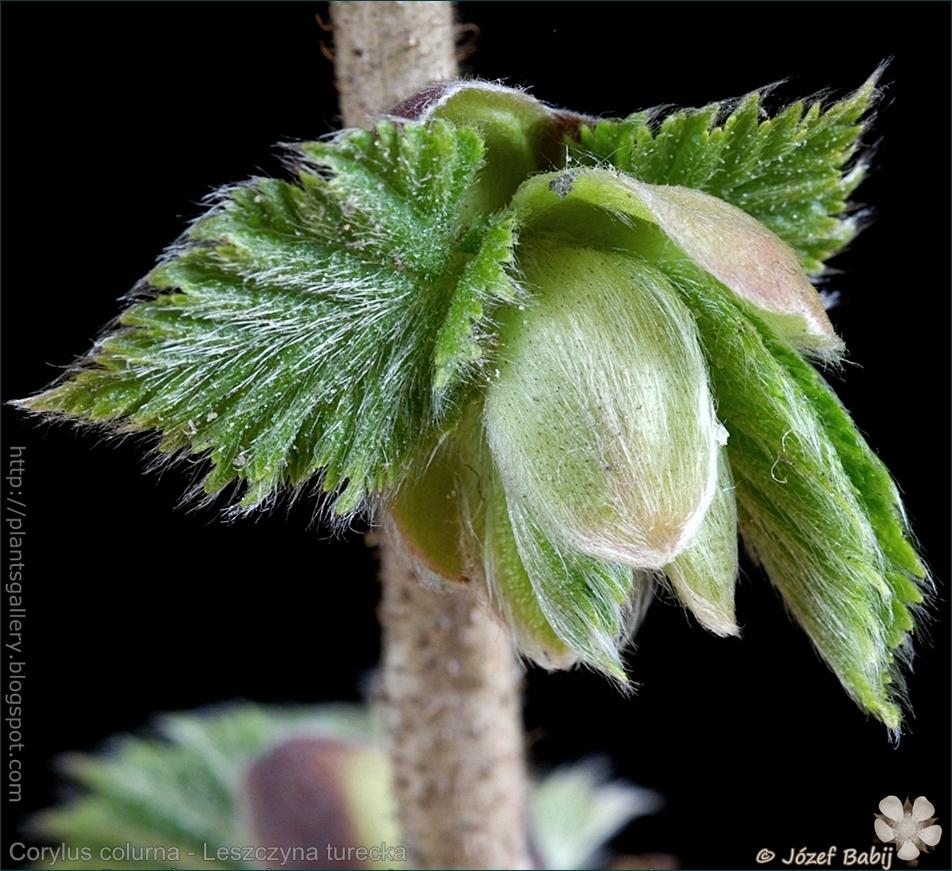 Corylus colurna - Leszczyna turecka niedojrzałe owoce