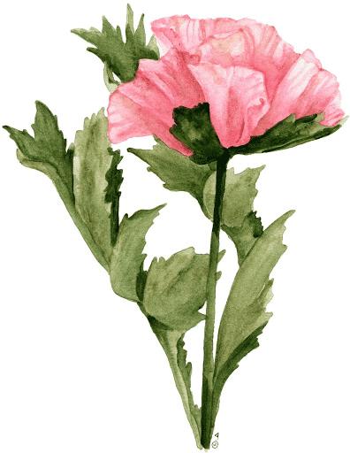 Dibujo de clavel