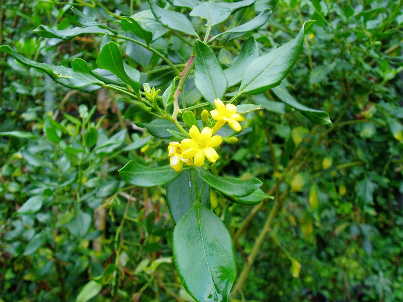 175 v deos de arbustos plantas riomoros for Especies de arbustos