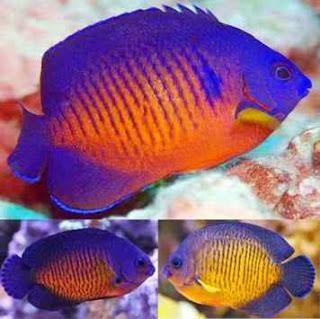 Deskripsi Ikan Hias Coral Beauty Dan Cara Memeliharanya