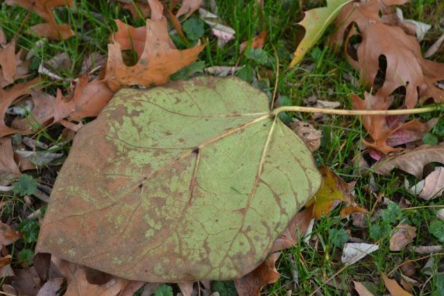 dark spots are extrafloral neactaries on catalpa leaf