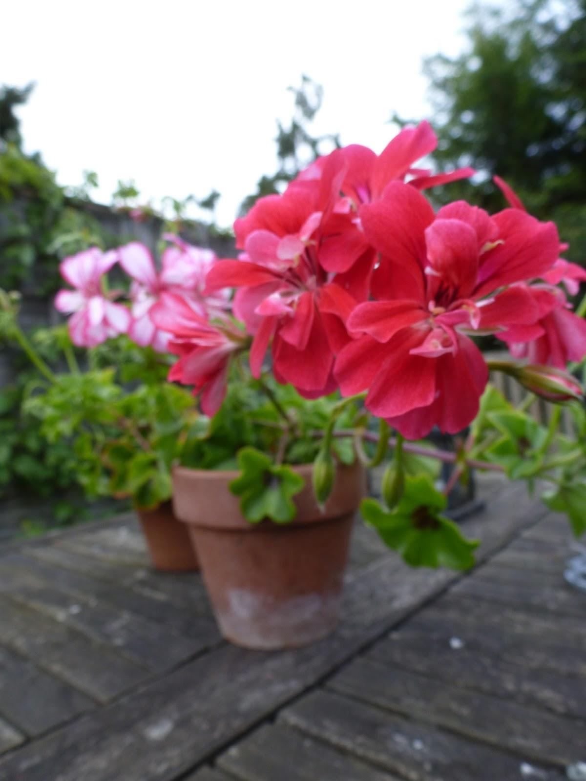 how to grow pelargoniums geraniums