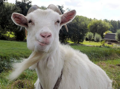 Absurd: Goat Incidentally Calls UK Police Emergency Number Leading To A Helicopter Search