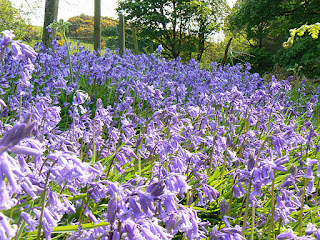 Bluebells in Littledale