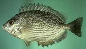 Manfaat Ikan Baronang