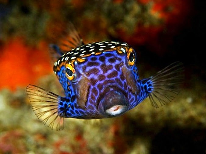 Boxfish fishes world hd images free photos for Loves fish box menu