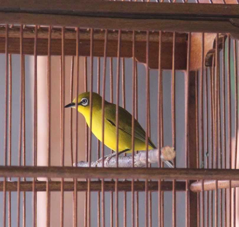 burung pleci lombok