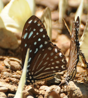 Lesser Zebra (Graphium macareus)