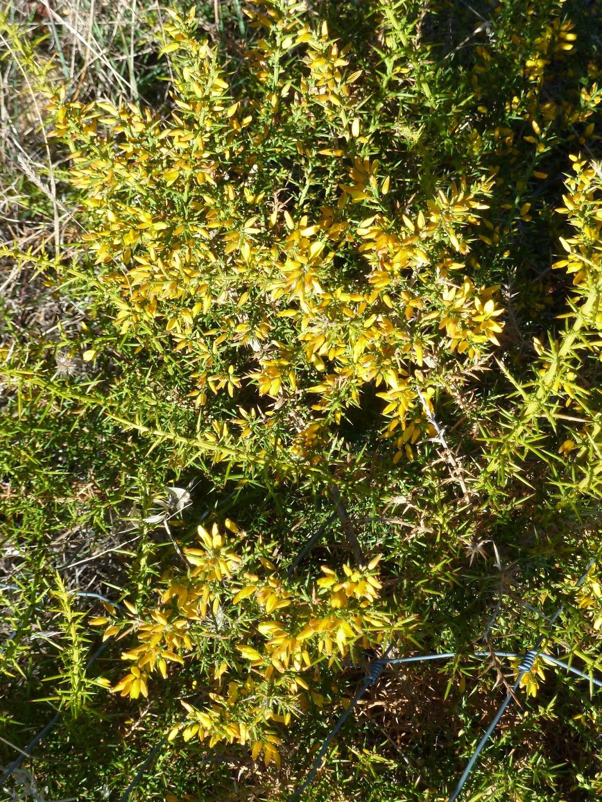 arbusto con muchos y agudos pinchos
