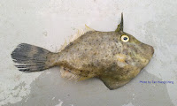Strap-weed Filefish