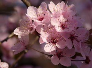 Sos Japon 2011 Sakura Flower