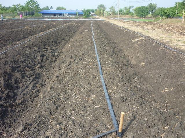 การเตรียมดินปลูกมะละกอ วิธีการปลูกและการเตรียมดิน - การปลูกมะละกอ