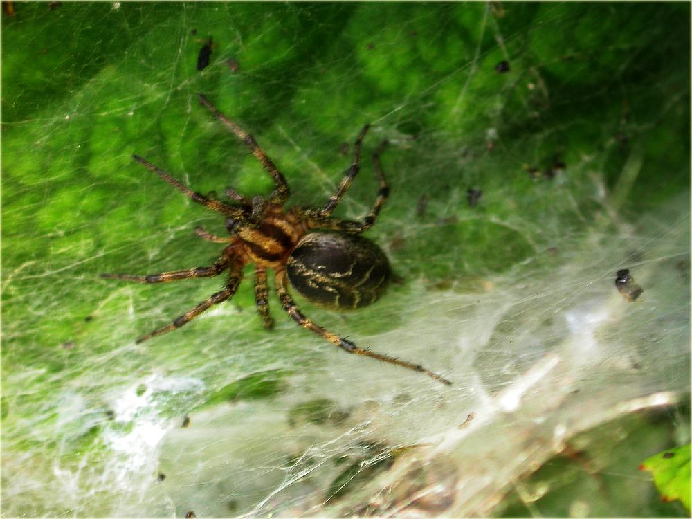 Arachnerds labyrinth spider agelena labyrinthica for Extra mural cemetery brighton