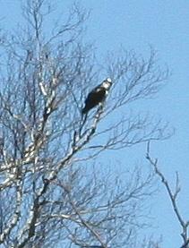 Osprey at Batdgle Preserve, Trout Lake,  MI