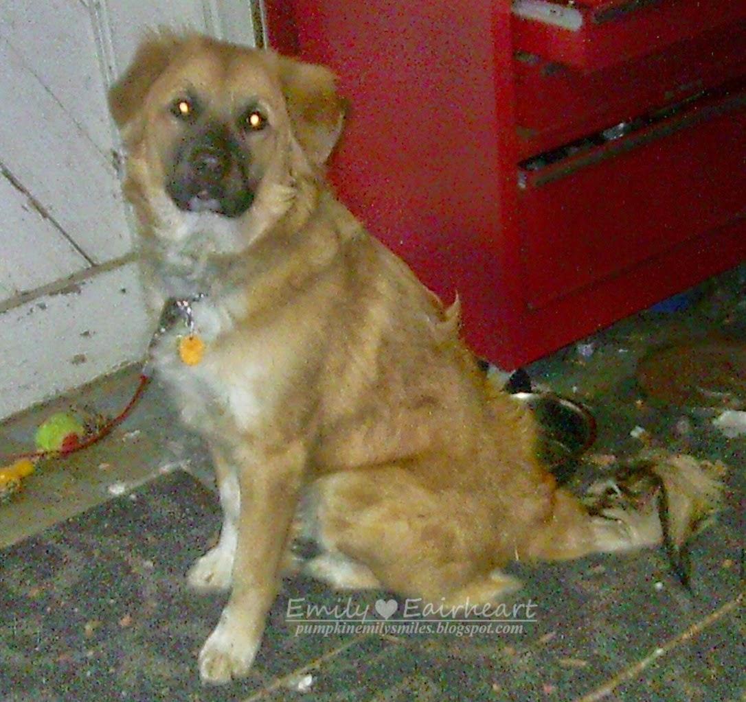 Rocky as a puppy German Shepherd and Golden Retriever Mix