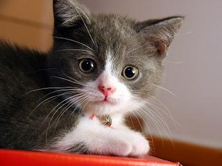 hukum memelihara kucing dalam islam,manfaat memelihara kucing dalam islam,islam,kucing anggora,persia,kelebihan memelihara kucing,