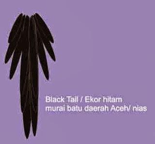 Ekor Burung Murai Batu Aceh