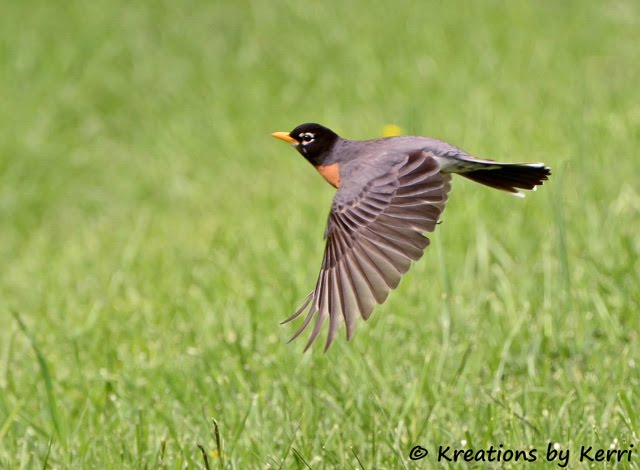 Robin In Flight - Friday Feathers