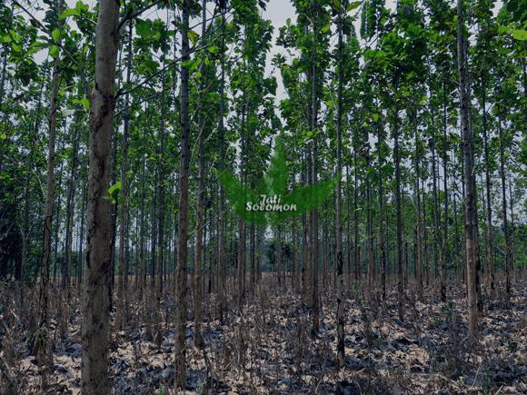 Pohon_Jati_Solomon_Umur_3_tahun_Semarang