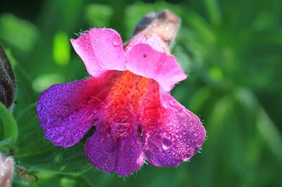 Erythranthe lewisii (Purple Monkey-Flower)