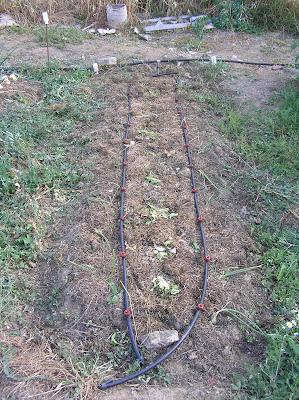 El cultivo de acelgas