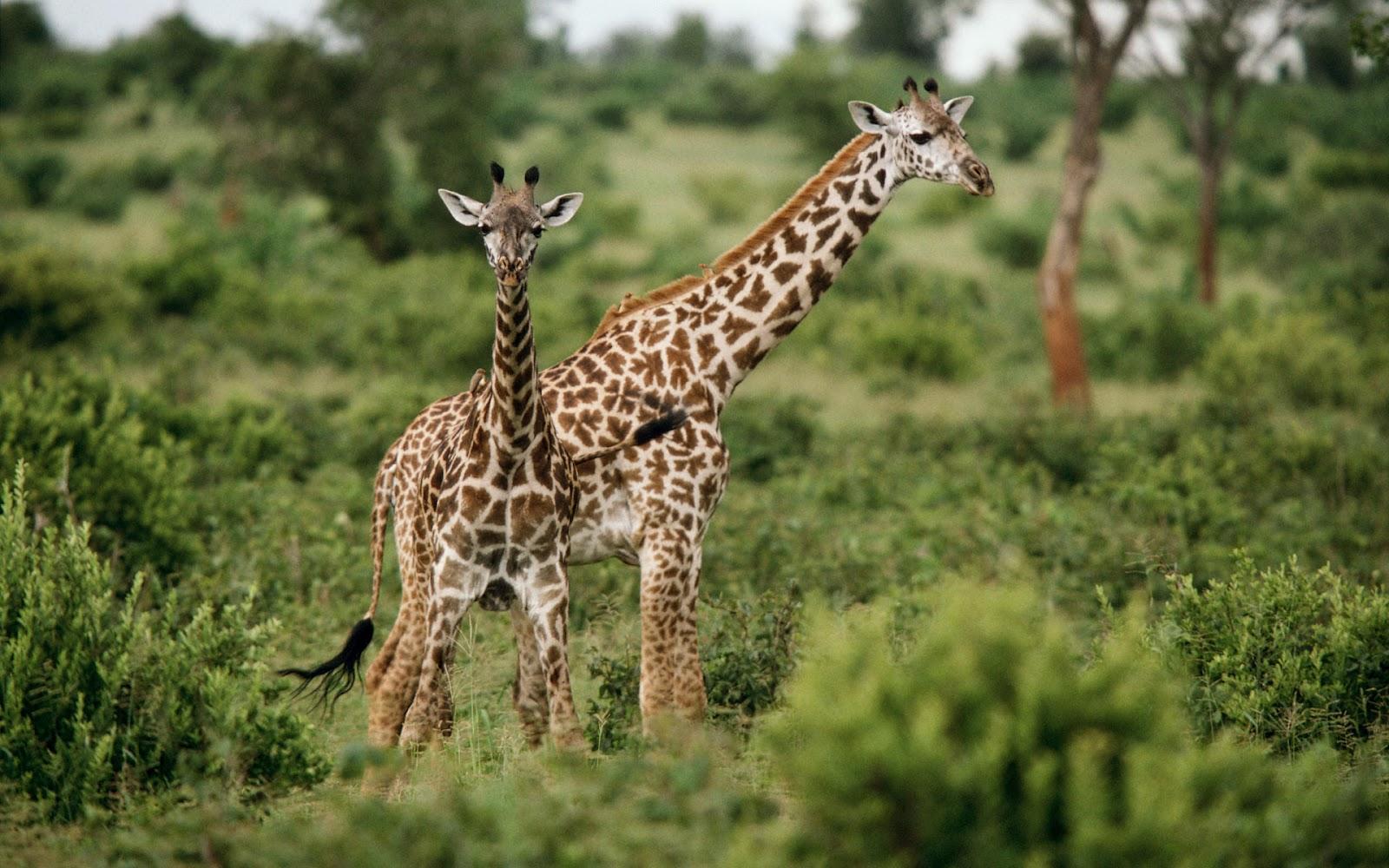 Afrika Wilde Dieren Achtergronden  HD Wallpapers