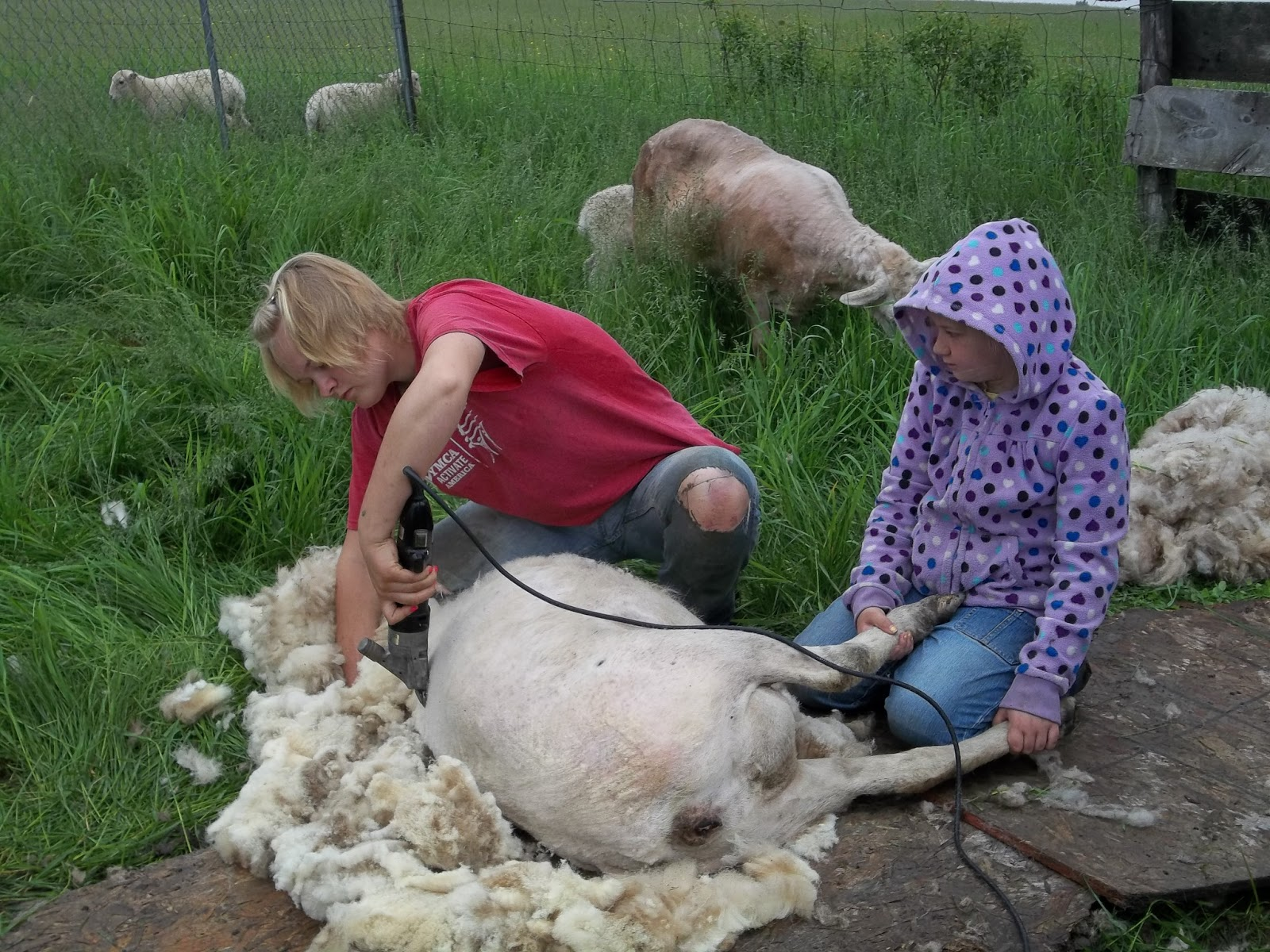 how to shear a sheep How to shear sheep, a step by step guide first we talk through how to shear with a live demonstration gentle handling, feet/leg placement and proper stroke/blows.