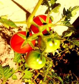 Tomates Cereja, Orig. regiões andinas, Peru,Bolivia e Equador