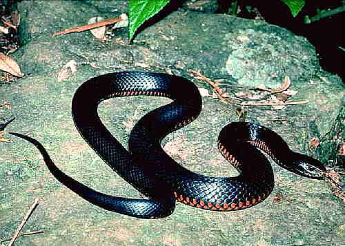 Animals pets types of poisonous snakes for Biscia nera