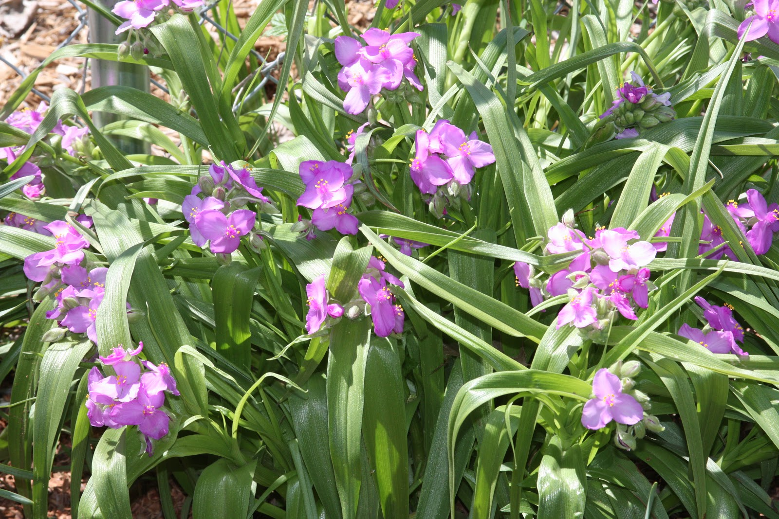 Picture of Live Spiderwort aka Tradescantia andersoniana 'Pink' Plant Fit 1 Gallon Pot