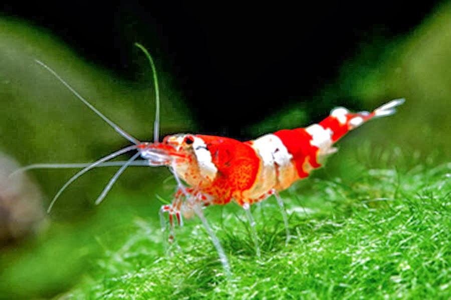Red Crystal Ornamental Shrimp - Caridina sp TROPICAL FISH