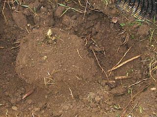 Excavating sea kale roots