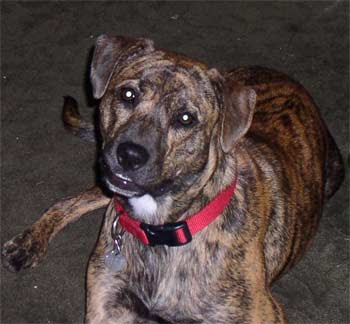 Treeing Tennessee Brindle Dog Breed Photos