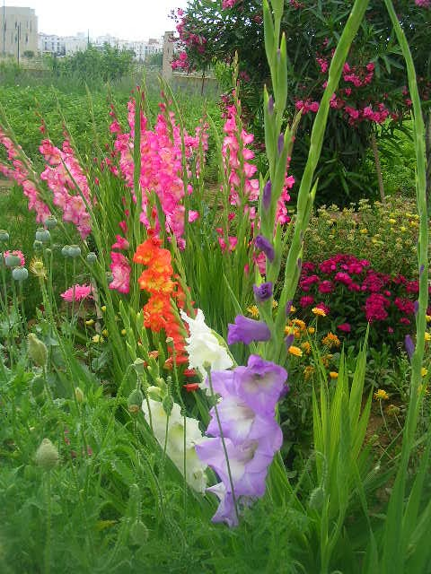 Plantar gladiolos el cuidado de las plantas y el jardin - Cuidado de jardines ...
