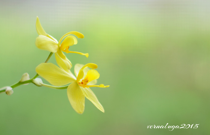 Yellow Spathoglottis, Floral Photography by Verna Luga