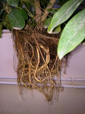 schefflera arboricola roots