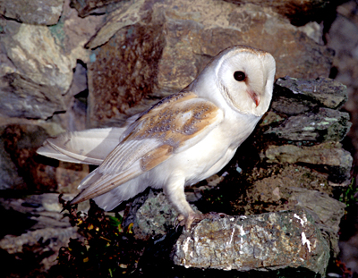 Kerry Birding Request For Barn Owl Sightings