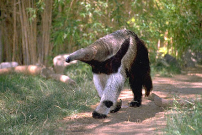latest videos of animal anteater pet poster