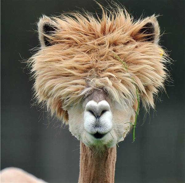 alpaca hair