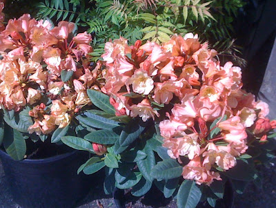 Honey Butter Rhododendron