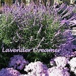 Lavender Dreamer