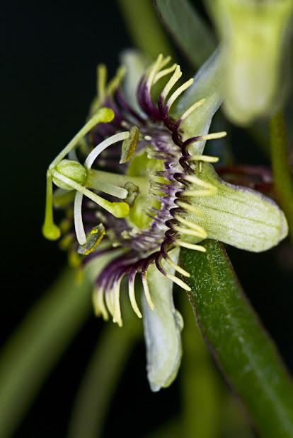 passiflora tenuiloba