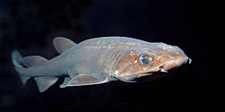 Filetail Catshark