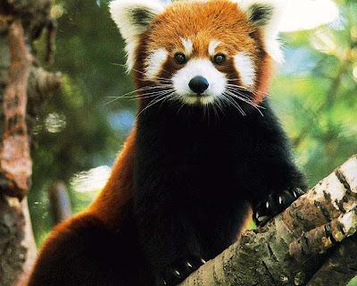 red-panda-pet-pics