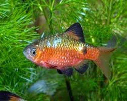 Peaceful freshwater fish the rosy barb freshwater fish for Peaceful freshwater fish